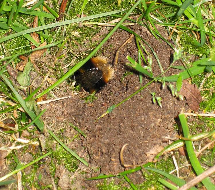 bumble bee nest entrance hole