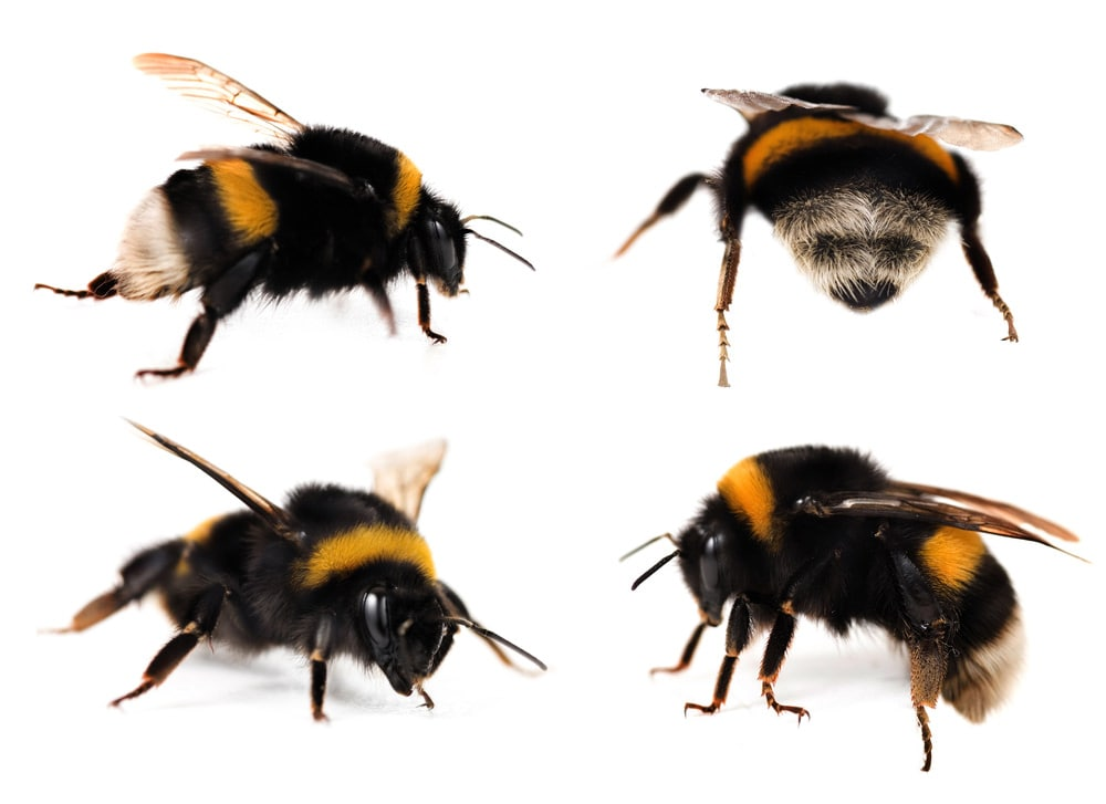 bumble bee anatomy