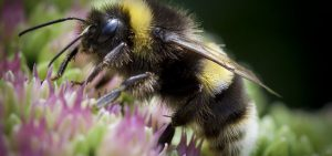 bumblebee life span