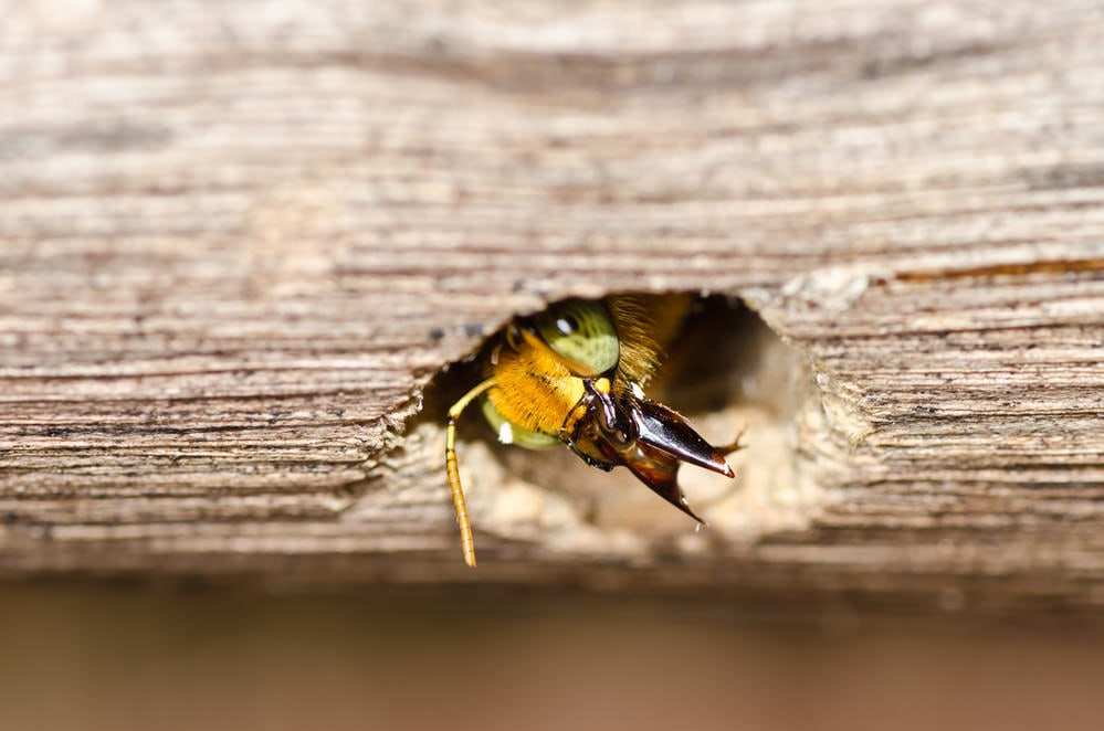wood bee (carpenter) in nest