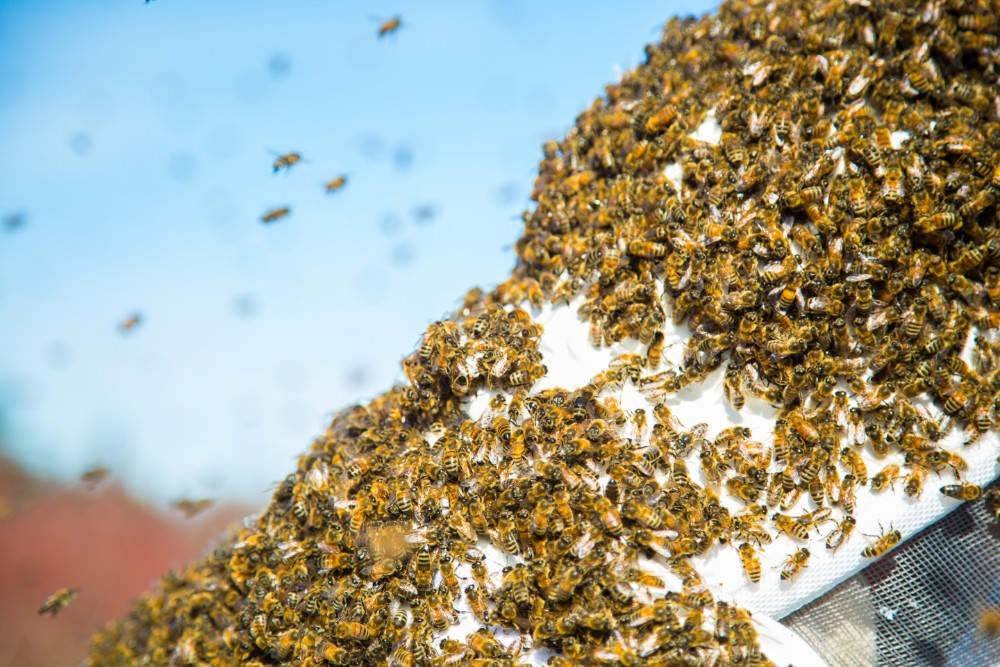 swarming honeybees