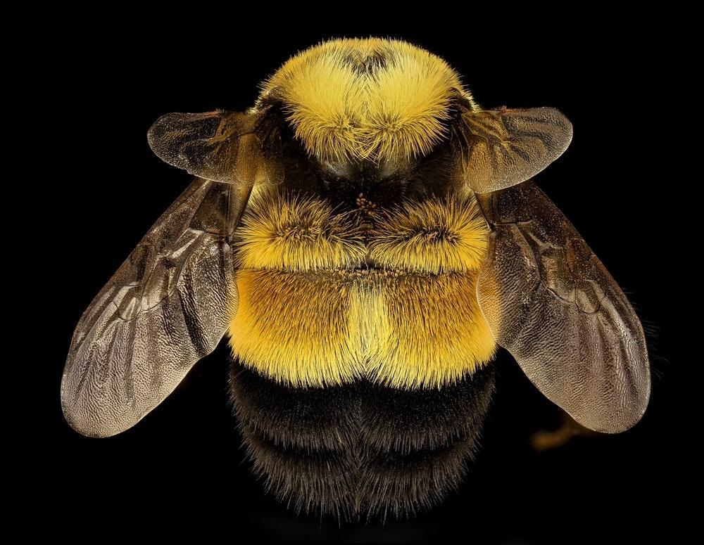 top of bombus affinis bumblebee