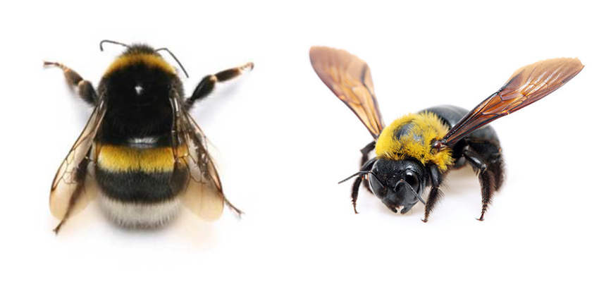 Bumblebees vs Carpenter Bees
