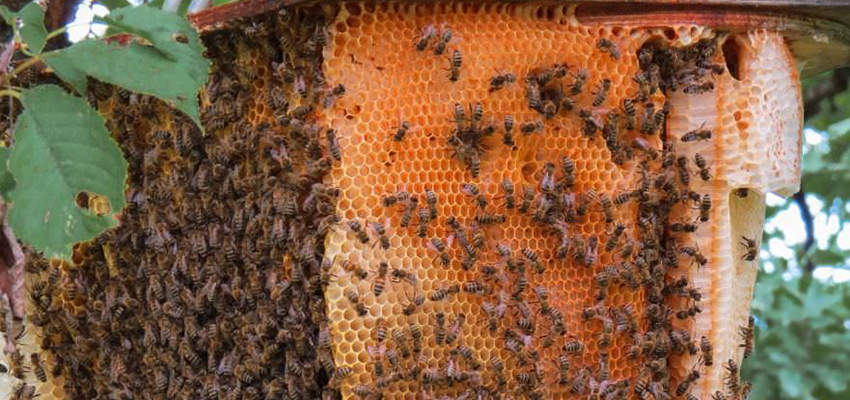 How Many Bees Live in a Hive