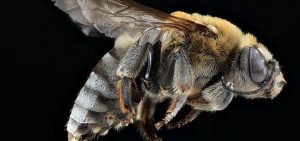 are bees insects