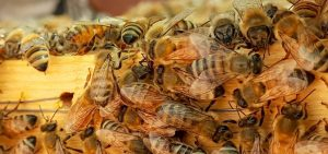male bees