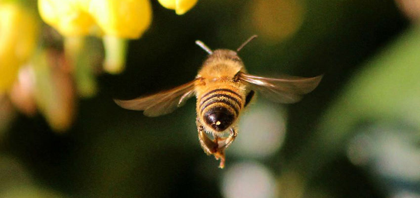 how long do honey bees live