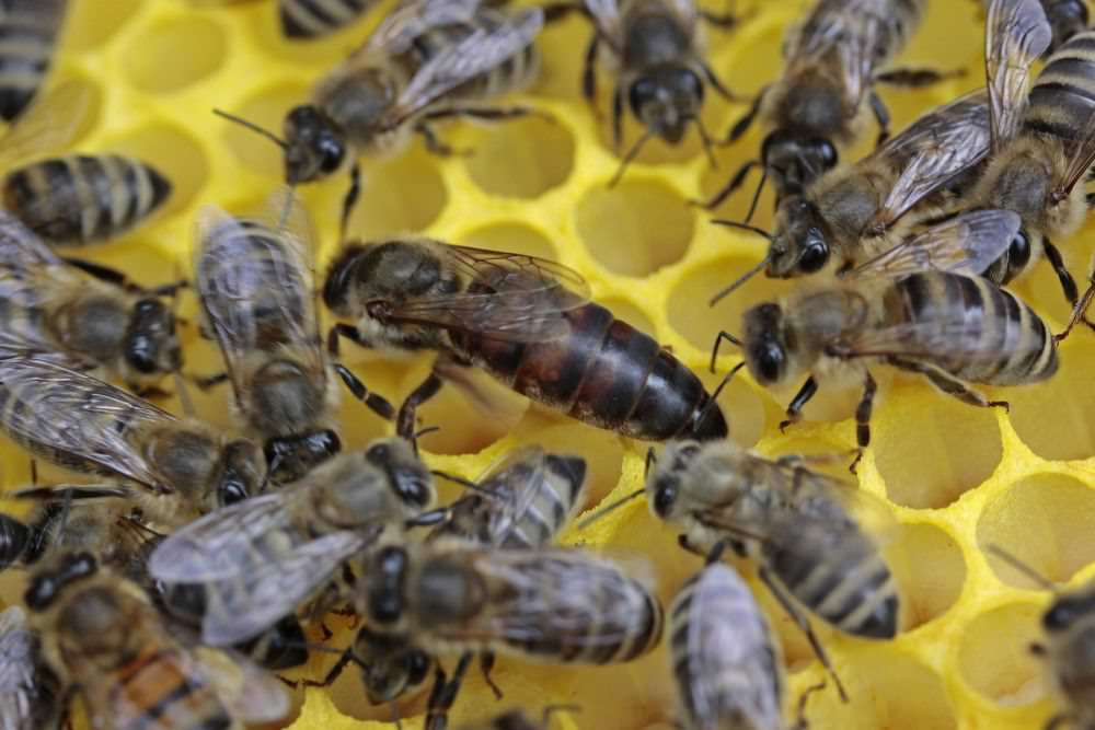 Worker Bees Appearance Common Traits Behavior Beehivehero