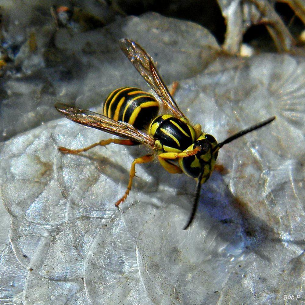 honey bees vs yellow jackets - 1000×1000